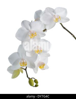Weiße Orchidee Phalaenopsis isoliert auf weißem Hintergrund. Tropische Blüten. - Stockfoto