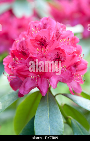 Rhododendron Nova Zembla, Rhodo. Strauch, Mai. Rosa Blüten. - Stockfoto