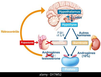 Hormonzyklus, Zeichnung - Stockfoto
