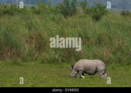 Single-gehörnten Nashorn - fotografiert am Kaziranga Nationalpark - Stockfoto
