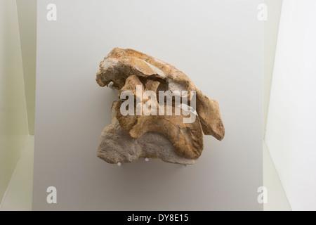 Fossile Dugongidae Metaxytherium Catalaunicum, Museu de Les Kulturen del Vi, Vilafranca del Penedès, Spanien - Stockfoto