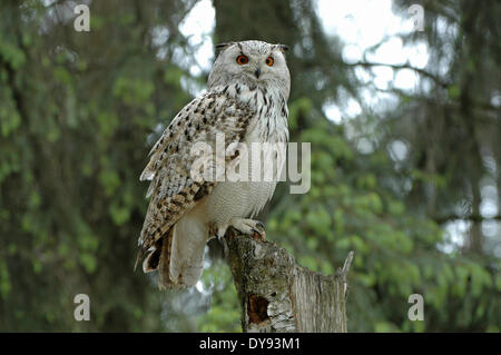 Eule Eulen sibirischen Eule Bubo Bubo Sibiricus Eulen-ähnliche Nachtvögel Beute Vögel Vogel Raptor Tier Tiere Deutschland - Stockfoto