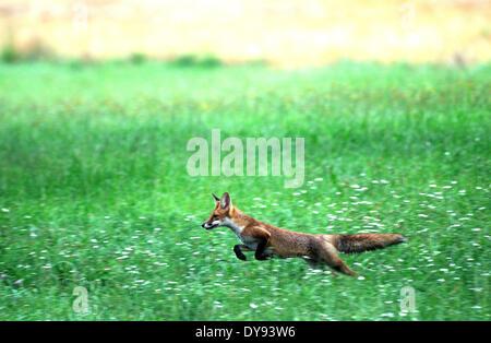 Rotfuchs fox Predator Caniden listige europäischen Fuchs Vulpes Vulpes Füchse junge Getreidefeld Maisfeld springen - Stockfoto