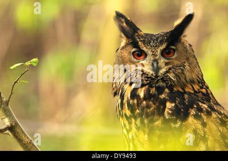 Uhu Bubo Bubo Eule Eulen Nacht Vogel der Raubvögel Greifvogel Vogel peering Frühling Raptor Ohren Pinsel Ohren Nacht - Stockfoto