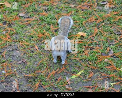 Grauhörnchen im St. James Park, London, UK - Stockfoto