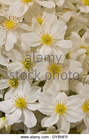 Clematis X cartmanii Lawine Feder Blume immergrünen duftenden Duft ...