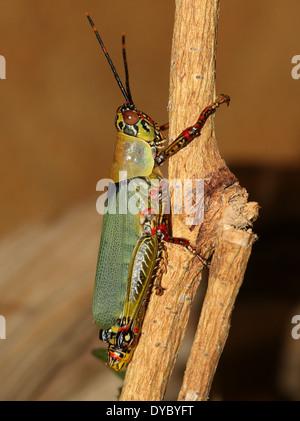Nahaufnahme der afrikanischen bunten Grashüpfer (Zonocerus Variegatus) - Stockfoto