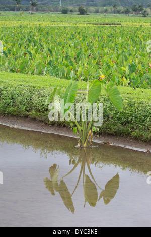 Taro (Colocasia esculenta) wachsende in überschwemmten Feld - Stockfoto