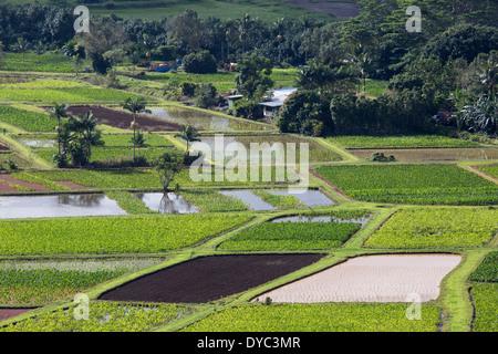 Taro-Anbau in gemischten Phasen des Wachstums - Stockfoto