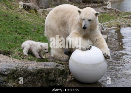 Eisbären (Ursus Maritimus), Jungtier, Nobby, 14 Wochen, spielt mit seiner Mutter Giovanna, Hellabrunn Zoo, München, - Stockfoto