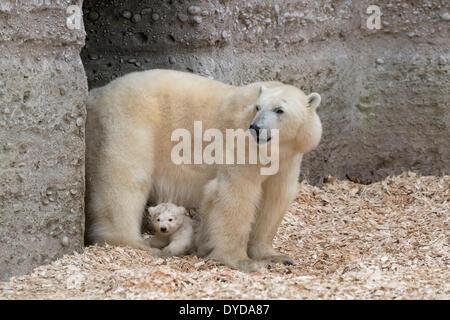 Eisbären (Ursus Maritimus), Jungtier, Nobby, 14 Wochen, mit seiner Mutter Giovanna, Hellabrunn Zoo, München, Bayern, - Stockfoto