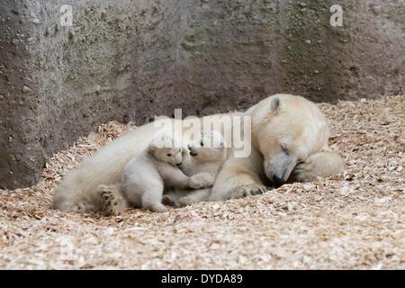 Eisbären (Ursus Maritimus), Jungen spielen, Nela und Nobby, 14 Wochen bei ihrer Mutter, Giovanna, Hellabrunn Zoo, - Stockfoto