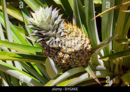 insel moorea franz sisch polynesien ananas felder auf den schultern von mount rotui der. Black Bedroom Furniture Sets. Home Design Ideas