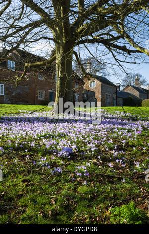Eine Fülle von blühenden Frühling Krokusse auf dem Dorfplatz am Ayston in der Nähe von Uppingham in Rutland, England - Stockfoto