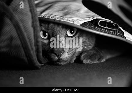 Eine graue Katze, versteckt unter einer Tasche - Stockfoto