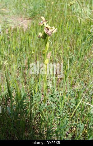 Zypern-Biene Orchidee Ophrys Kotschyi wächst in ihrem natürlichen Lebensraum in Kyrenia Gebirge Nordzypern - Stockfoto