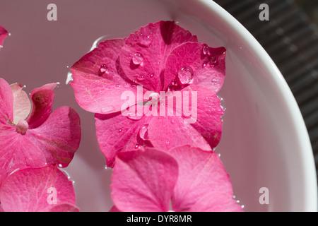 Rosa Hortensie Blumen schweben in einer Schüssel mit ätherischen Ölen. Geringe Schärfentiefe. - Stockfoto