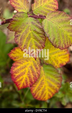 Brombeerblätter (Rubus Fruticosus) in einem Regenbogen von Farben des Herbstes - Stockfoto