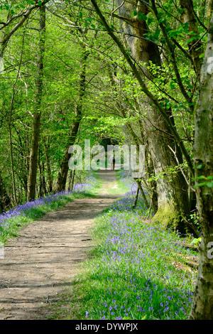 Bluebell Weg durch Brede High Woods Spring UK - Stockfoto