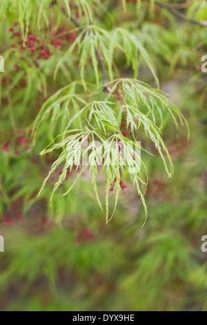 Acer Palmatum var. Dissectum Viride Gruppe. Schnitt-leaved japanischen Ahorn-Blatt-Muster. - Stockfoto