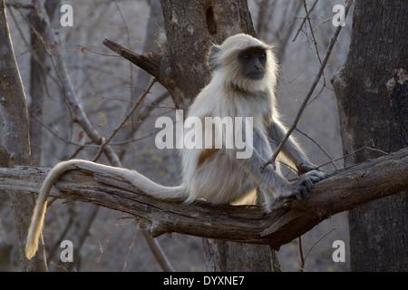 Hanuman-Languren (Semnopithecus Entellus) sitzt im Baum im Gegenlicht. - Stockfoto