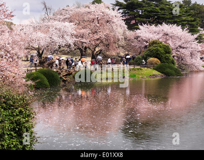 Kirschblüte im Shinjuku Gyōen National Garden in Tokio Japan - Stockfoto