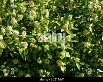Skimmia X confusa 'Kew Green' Strauch in Blüte - Stockfoto