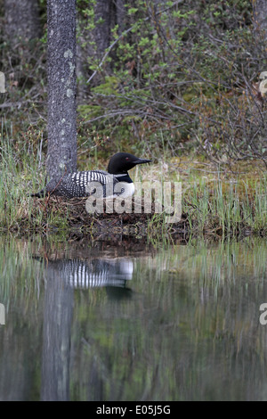 Gemeinsamen Loon (Great Northern Diver), Gavia Immer am Nest in den Rocky Mountains - Stockfoto