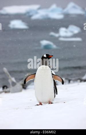 Gentoo Penguin Abkühlung mit Flügel ausgestreckt in Gentoo-Pinguin-Kolonie in der Antarktis Cuverville island - Stockfoto
