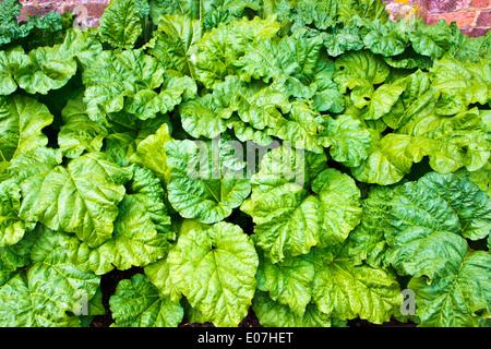 Rhabarber Pflanzen wachsen im Gemüsebeet im Garten. - Stockfoto