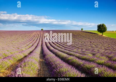 Lavendel-Feld in Frankreich, Provence - Stockfoto
