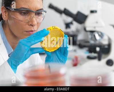 Wissenschaftler, die Kulturen wachsen in Petrischalen mit einem Band Biohazard auf in einem Mikrobiologielabor anzeigen - Stockfoto