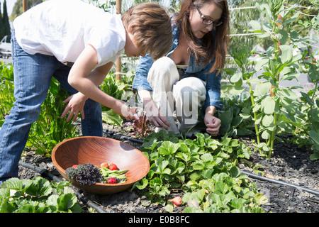 Mutter und Sohn, die Ernte der Erdbeeren im Garten - Stockfoto