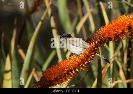 Garten Bulbul (Pycnonotus barbatus layardi), auch als Dunkle, schneebedeckten Bulbul und black-eyed bulbul. Früher - Stockfoto