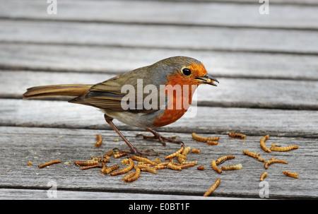 Europäische oder englischen Robin Essen Mehlwürmer (Erithacus Rubecula) - Stockfoto