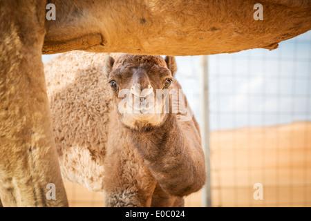 Bild vom Kamel Kalb in Wüste Wahiba Oman - Stockfoto
