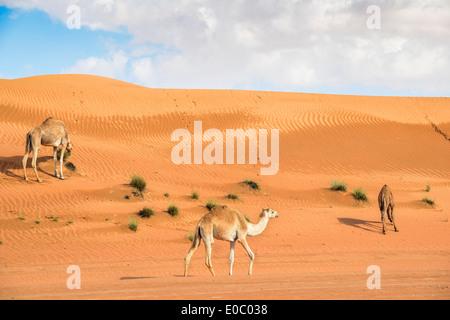 Bild von drei Kamelen in Wüste Wahiba Oman - Stockfoto