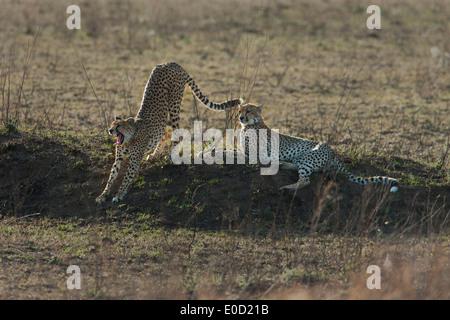 Geparden, entspannend, Serengeti, Tansania (Acinonyx Jubatus) - Stockfoto