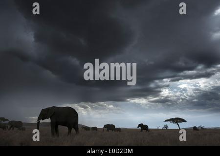 Elefanten und Gewitterwolken, Tansania (Loxodonta Africana) - Stockfoto