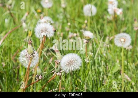 Löwenzahn Uhren in einem Feld im Frühjahr - Stockfoto