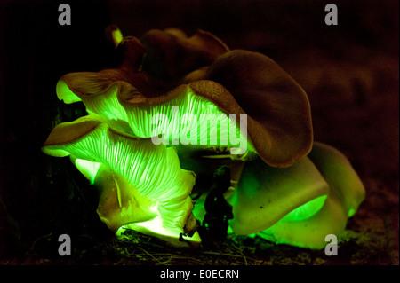 Der australische Ghost Pilz (Omphalotus Nidiformis) ist eine leuchtende Pilz, der im Dunkeln leuchtet - Stockfoto