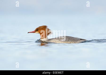 Gemeinsamen Prototyp (Mergus Prototyp) oder Gänsesäger Schwimmen im blauen Wasser des Genfer Sees mit geringen Schärfentiefe. - Stockfoto