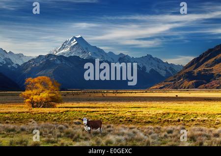 Ackerland mit weidenden Kühen und Mount Cook auf Hintergrund, Canterbury, Neuseeland - Stockfoto