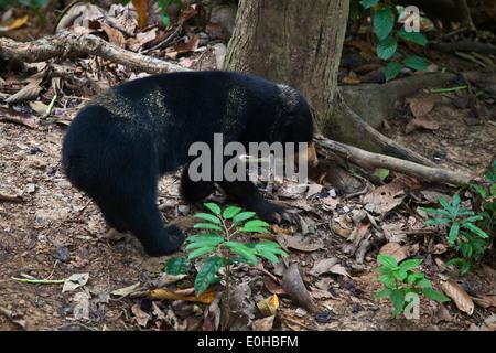 Eine Sonne-Bär (Helarctos Malayanus) an die Bornean Sun Bear Conservation Center befindet sich in der Nähe von Sandakan - Stockfoto