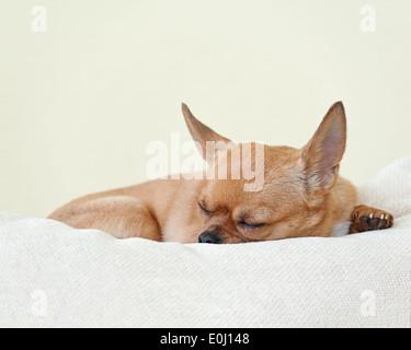Schlafenden roten Chihuahua Hund auf beigen Hintergrund. Closeup. - Stockfoto