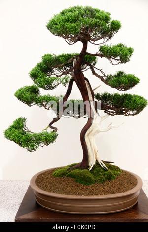 bonsai b ume chinesische wacholder juniperus chinensis cupressaceae stockfoto bild 69260978. Black Bedroom Furniture Sets. Home Design Ideas
