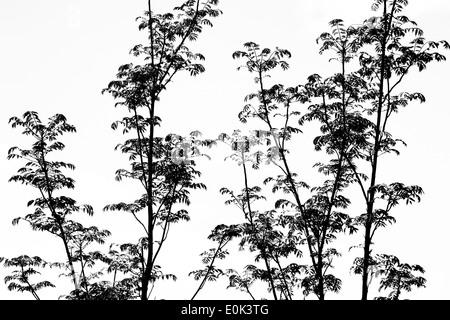 """Toona Sinensis 'Flamingo'. Chinesische """"Flamingo"""" Mahagonibaum Zweige und Blätter vor einem weißen Hintergrund. - Stockfoto"""