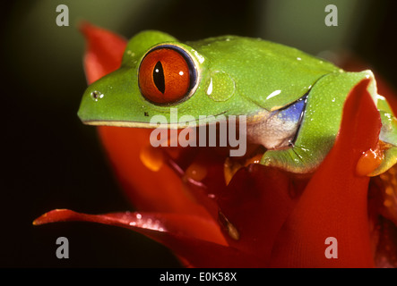 Rotäugigen Baumfrosch sitting on Top of eine rote Blume, die ursprünglich aus Mittelamerika, in Gefangenschaft/kontrollierten - Stockfoto
