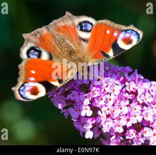 Tagpfauenauge (Inachis Io) - Europäische Tagpfauenauge (Inachis Io) - Stockfoto