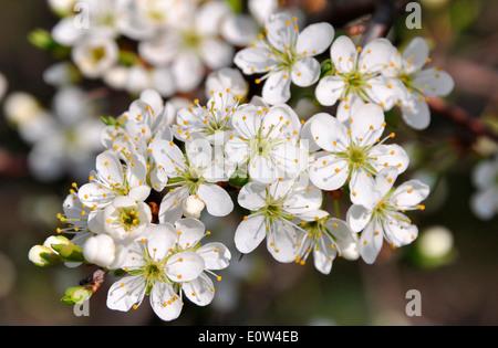 Schlehe, Schlehe (Prunus Spinosa), blühender Zweig. Deutschland - Stockfoto